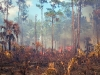 """Fire in the Pines, Big Cypress #1"""